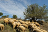 Beautiful view of a group of Sheeps