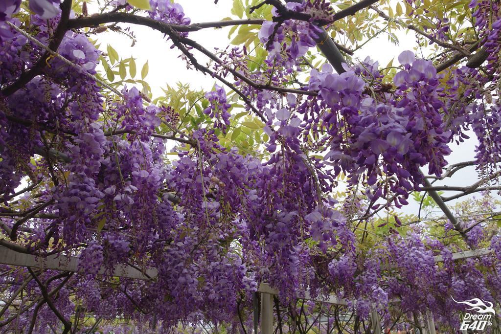 淡水紫藤咖啡園10