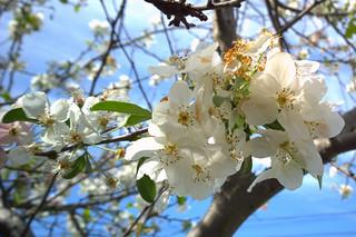 N20150401-0006—Prunus × Yedoensis 'Akebono'—Berkeley