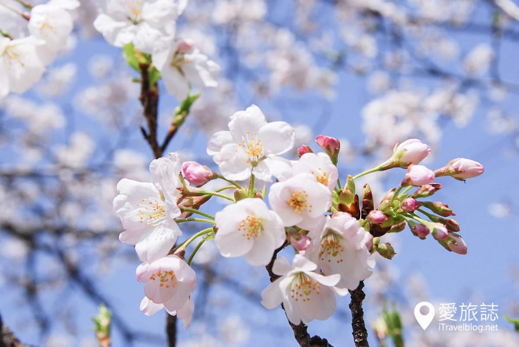 京都赏樱景点 哲学之道 26