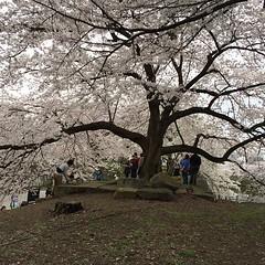 huge sakura tree @ hikone castle #hikone #shiga #sakura  #桜 #彦根 #滋賀