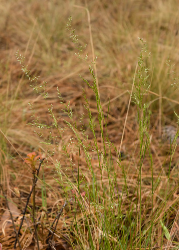 native poaceae usf monocots longleafwedgescale sphenopholisfiliformis