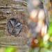 Eastern Screech-owl by www.LKGPhoto.com