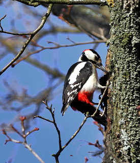 Pico Picapinos / Great Spotted Woodpecker / Dendrocopos major