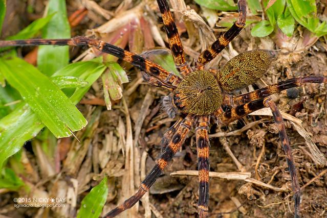 Huntsman spider (Sparassidae) - DSC_5355
