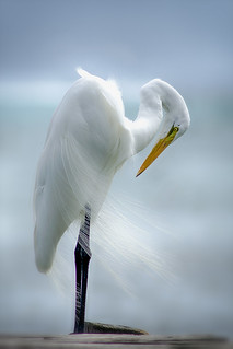 The Great Egret...
