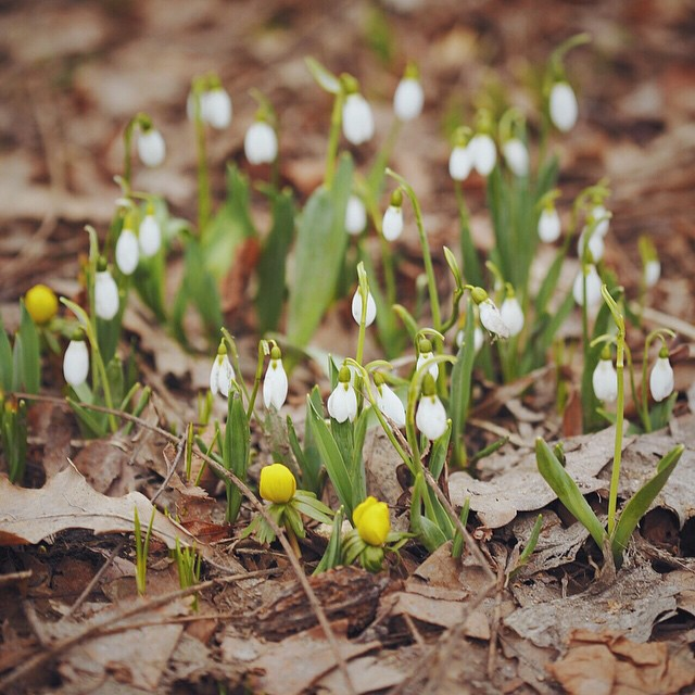 Подснежники3 🌱 #АптекарскийОгород #flower #spring #hortus_ru