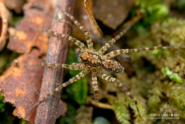 Wolf spider (Lycosidae) - DSC_5243