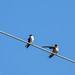 Mangrove Swallow (L) & Barn Swallow (R) por Chub G's M&D