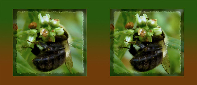 Bumblebee Butt 2 - Cross-eye 3D