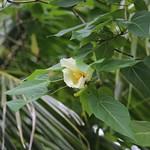 Thespesia populnea leaf and flower