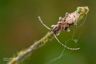 Longhorn beetle (Sybra sp.) - DSC_6185