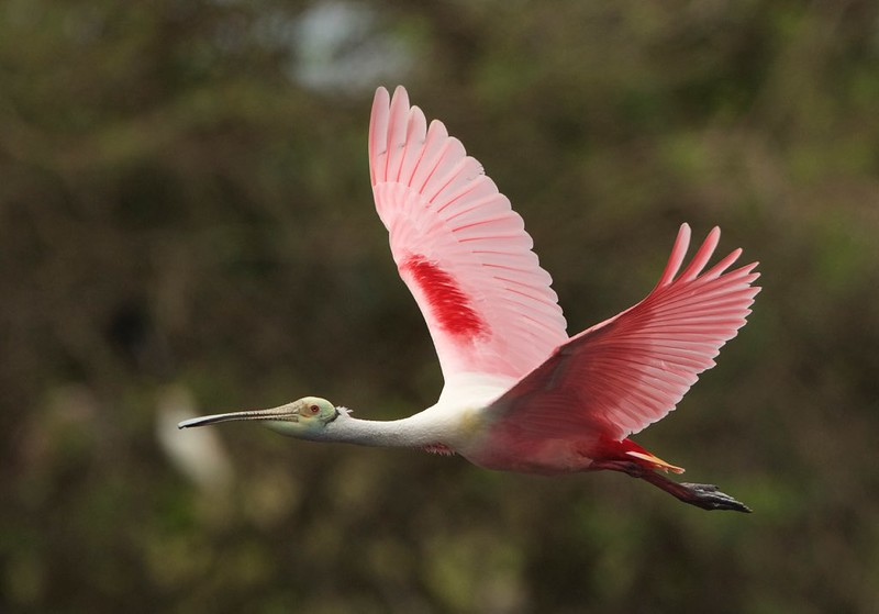 Roseate Spoonbill-VIEW LARGE
