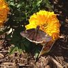 My first butterfly of the season! #whatisit #notabuckeye #butterflies #garden