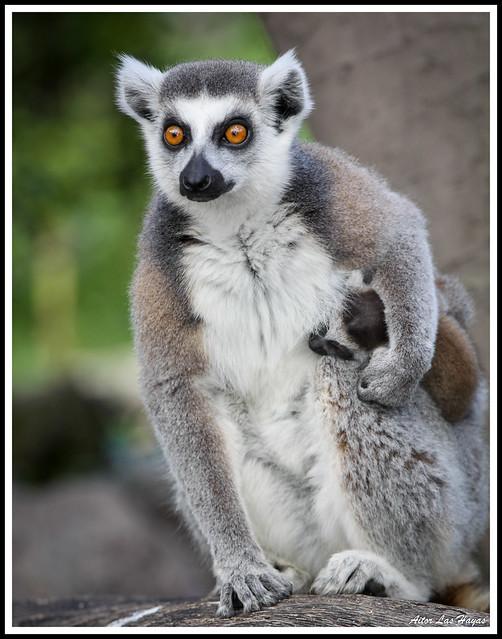 Lémur de cola anillada