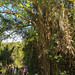 Under the shade of a Strangler Fig, Mark offers a tutorial to the GSLA group. por Chub G's M&D