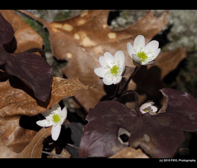 Sharp-Lobed Hepatica (Hepatica nobilis)