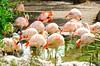Pink Flamingos. Al Ain Zoo. April 11, 2015. 4pm.