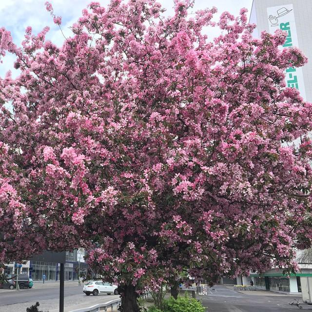 Цветущий #Берлин прекрасен! #цветы #весна #Berlin