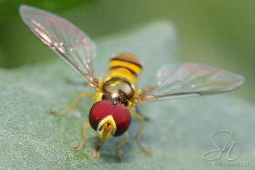 Hoverfly 6111-16