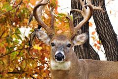 One More Deer Portrait
