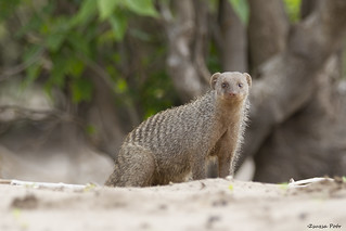 Mongoose @ Chobe Riverfront