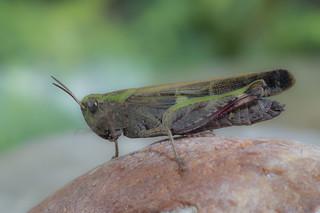 Cavalletta dei prati - Calliptamus italicus
