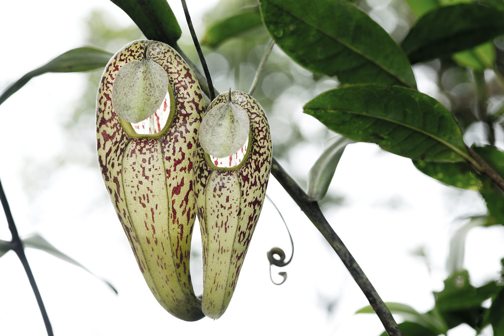 Carnivores et orchidées in situ  16807337621_10e209ddb9_b
