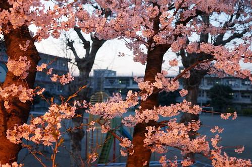 Sakura & elementary school