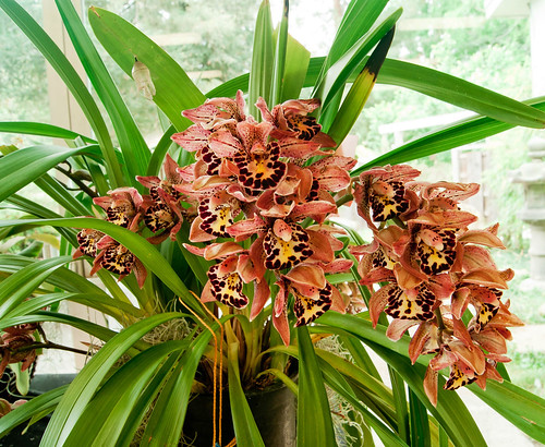 Cymbidium Vogel's Magic