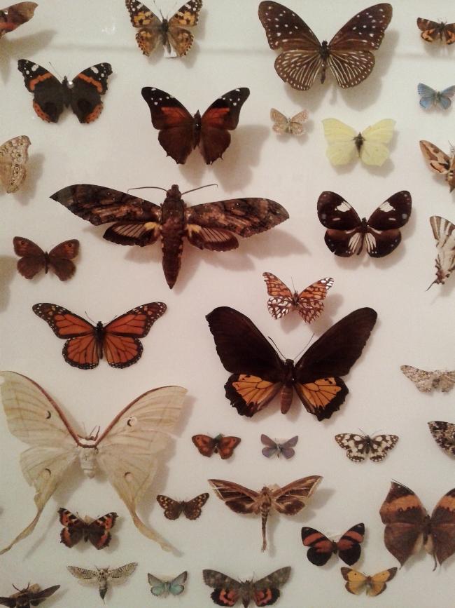 Lepidoptera display