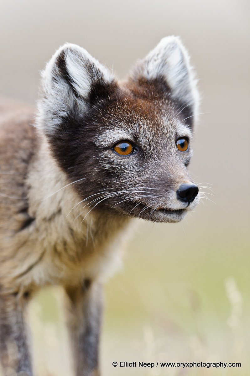 Arctic Fox by Elliott Neep