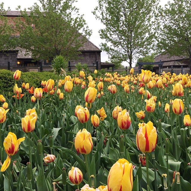 The tulips have gone wild at The Boathouse! ������ Brian and I were going to have dinner at one of 'our' special places tonight close to home, but surprisingly it was closed... So, we trekked down to Forest Park, which isn't really close at