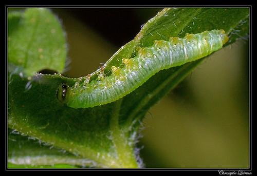Pristiphora appendiculata larva