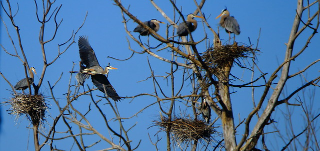 Blue Herons - Spring Party