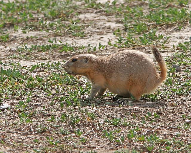 Prairie Dog 20d_7102