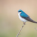 Tree Swallow by jeffloomis1