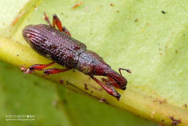 Weevil (Curculionidae) - DSC_2975