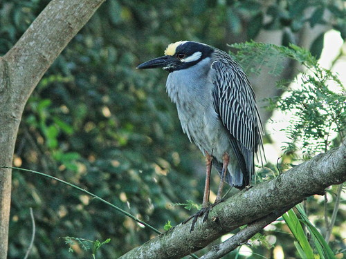 Yellow-crowned Night-Heron 3-20150321