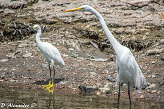 wetland(1.0), animal(1.0), fauna(1.0), natural environment(1.0), great egret(1.0), heron(1.0), pelecaniformes(1.0), beak(1.0), crane(1.0), bird(1.0), wildlife(1.0),