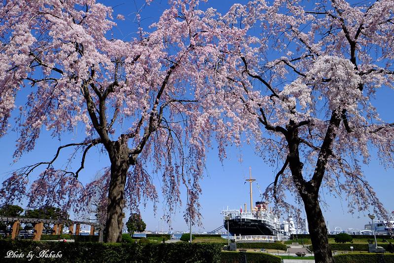 枝垂れ桜と氷川丸 -山下公園- by Nakabo