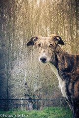 dog sports, animal, dog, whippet, galgo espaã±ol, mammal, lurcher, greyhound,