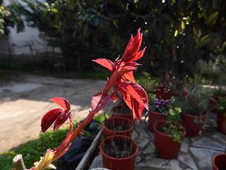 rosebush P1030681