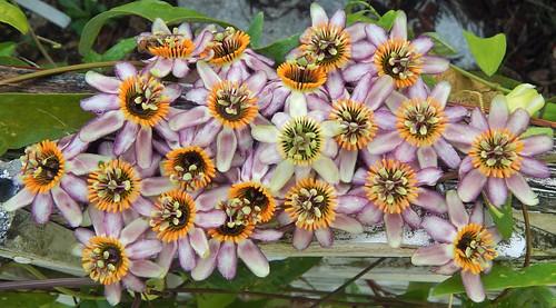 "Passiflora ""false candollei, Passiflora talamencensis"