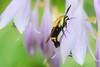 Hummingbird Moth (Retouched) - 2