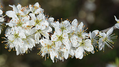 blossom, flower, branch, nature, macro photography, wildflower, flora, close-up, prunus spinosa, cherry blossom, spring,