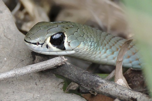 Demansia psammophis; Yellow-faced Whip-Snake