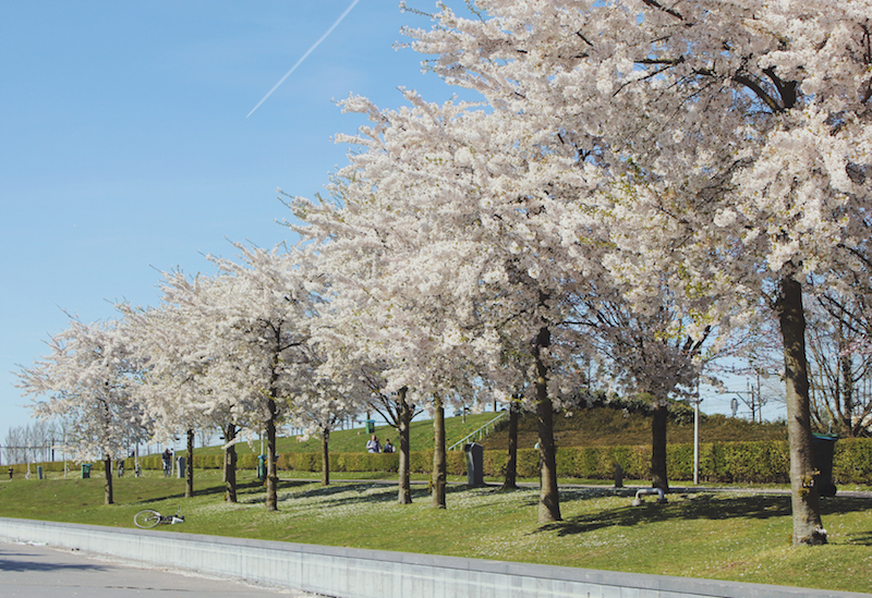 Cherry blossoms in Amsterdam Westergasfabriek