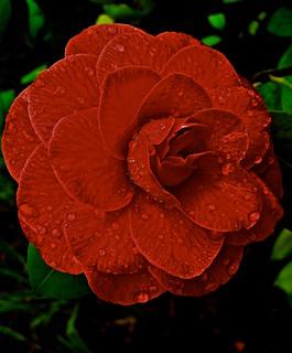 red camellia 3268