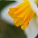 Soft Creamy Dreamy Daffodil